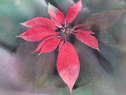 Mathew Mathew - Poinsettia