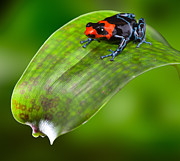 Arrow-leaf Posters - poison dart frog Peru Poster by Dirk Ercken
