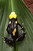 Guyana Prints - Poison Frog Print by Dirk Ercken