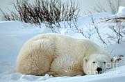 Mark Newman - Polar Bear