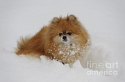 Pomeranian In Snow Print by John Shaw