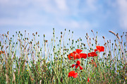 Angela Doelling AD DESIGN Photo and PhotoArt - Poppies