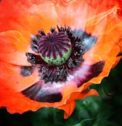 Orange Poppy Prints - Poppy Print by Cathie Tyler