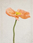 Flower Photography Photo Posters - Poppy Poster by Kristin Kreet