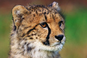 Nick  Biemans - Portrait of a cheetah cub