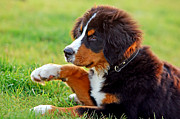 Berner Photos - Portrait of puppy Bernese mountain dog  by Michal Bednarek