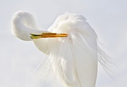 Paulette Thomas Photography Prints - Preening Print by Paulette  Thomas