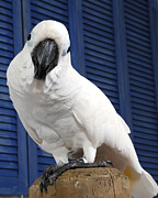 Pet Cockatoo Photos - Pretty Boy by Paul Clavel