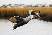 Pretty Pelican Print by Paulette  Thomas