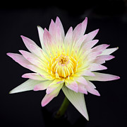 Sabrina L Ryan - Pretty Pink and Yellow Water Lily