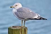 Pretty Sea Gull Print by Paulette  Thomas