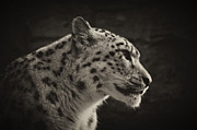 Chris Boulton - Profile of a Snow Leopard
