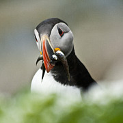 Puffin With Fish Print by Heiko Koehrer-Wagner