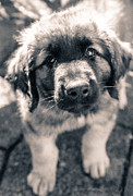 Leonberger Prints - Puppy prayer Print by Christina Rahm