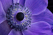 Purple Anemone Print by Ann Garrett