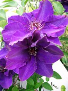 Kimberly-Ann Talbert - Purple Clematis