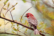 Trina  Ansel - Purple Finch