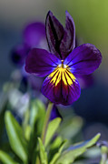 Purple Floral Photos - Purple Viola by Sharon  Talson