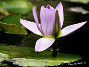 Waterlily Poster Posters - Purple Water Lily Poster by Carol F Austin