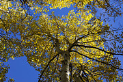Quaking Aspen Photos - Quaking Aspens by Ernie Echols