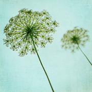 Queen Annes Lace Framed Prints - Queen Annes Lace Framed Print by Kim Fearheiley