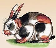 Science Source - Rabbit-Historiae Animalium 16th