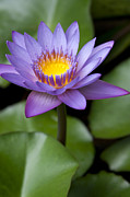 Lotus Flower Posters - Radiance Poster by Sharon Mau
