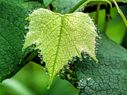 Grape Leaf Framed Prints - Rain Framed Print by Beckie Fitgerald