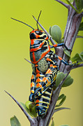 Robert Jensen Art - Rainbow grasshopper on ocotillo by Robert Jensen