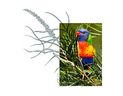 Lorikeet Photos - Rainbow Lorikeet by Andrew McInnes