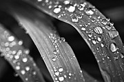 Droplet Prints - Raindrops on grass blades Print by Elena Elisseeva