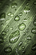 Rain Drop Prints - Raindrops on green leaf Print by Elena Elisseeva