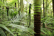 Botany Prints - Rainforest  Print by Les Cunliffe