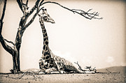 Outdoor Still Life Art - Reclining Giraffe Sepia by Mike Gaudaur