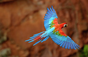 Macaw Prints - Red And Green Macaw Flying Print by Pete Oxford