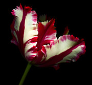 Flowers On Head Posters - Red and White Parrot Tulip Poster by Oscar Gutierrez