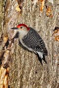 Woodpeckers Posters - Red Bellied Woodpecker Poster by Todd Bielby
