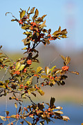 Autumn Photos Originals - Red Berries by Ruth  Housley