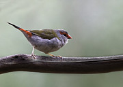 Red Finch Originals - Red Browed Finch by Dave Sumner