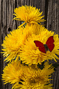 Yellows Prints - Red butterfly on yellow mums Print by Garry Gay
