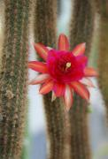 Red Cactus Flower Prints - Red Cactus Print by Christiane Schulze