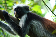 Mangrove Forest Metal Prints - Red Colobus Monkey Metal Print by Aidan Moran