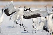 Natural Focal Point Photography - Red Crowned Crane Landing