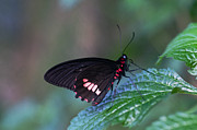 Cheryl Cencich - Red form butterfly