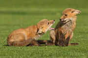Fox Photos - Red Fox kits by Everet Regal