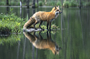 Canid Posters - Red Fox Reflected in Lake Poster by Konrad Wothe