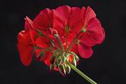 James Insogna Framed Prints - Red Geranium In Progress Framed Print by James Bo Insogna