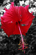 Red Hibiscus Print by Cheryl Young
