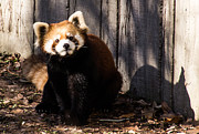 Cathy Donohoue - Red Panda
