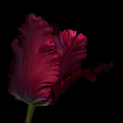 Isolated Against Black Background Posters - Red parrot tulip  Poster by Oscar Gutierrez